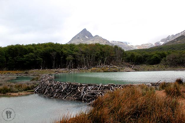 Excursión a la Laguna Esmeralda. El trabajo de estas presas las realizan los castores