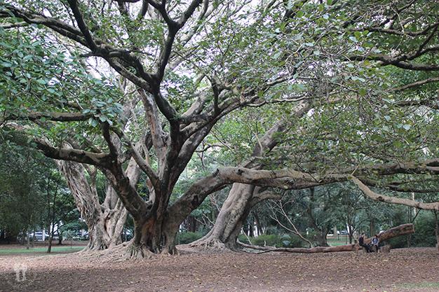 Árbol gigante del Parque Ibirapuera