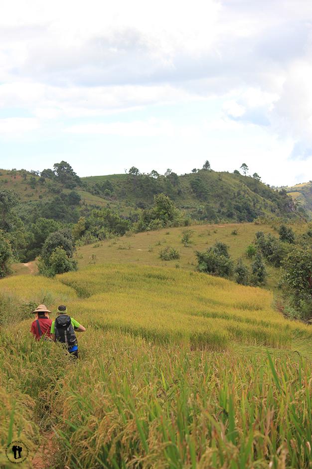 Cruzando los campos de arroz