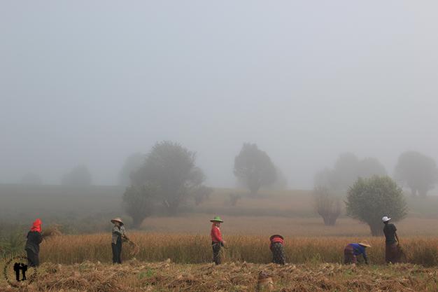 Mujeres segando el arroz