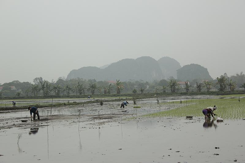 Plantando el arroz