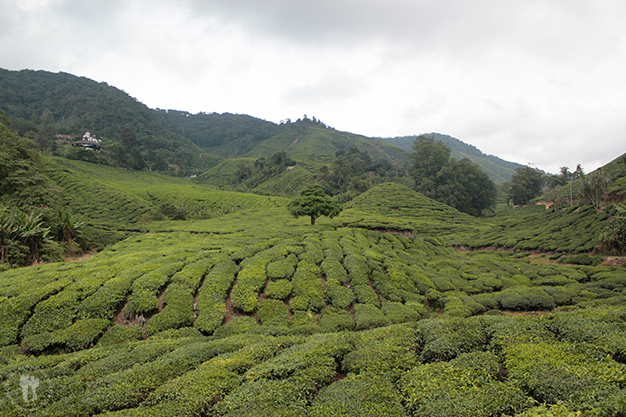 Montañas de té