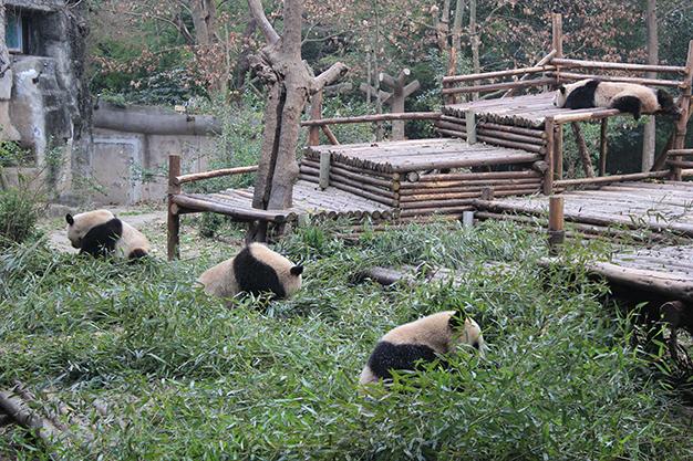 Hora de la comida, les encanta el bambú