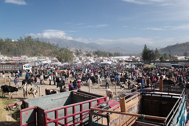 Feria de animales. Sección de vacuno
