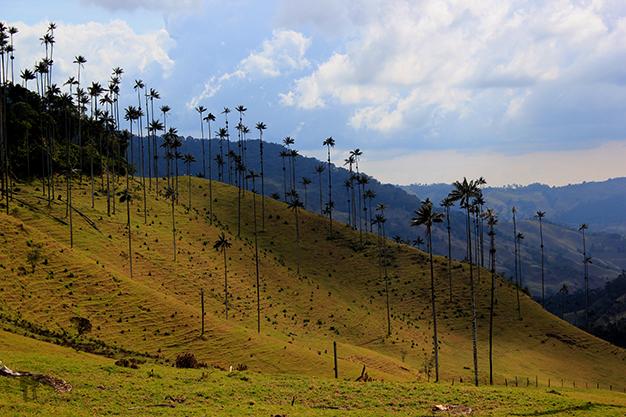 Palmeras del valle de Cocora