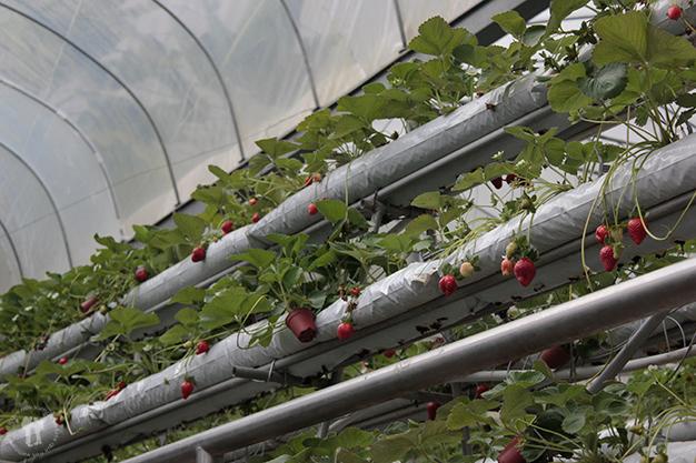 Invernadero de fresas