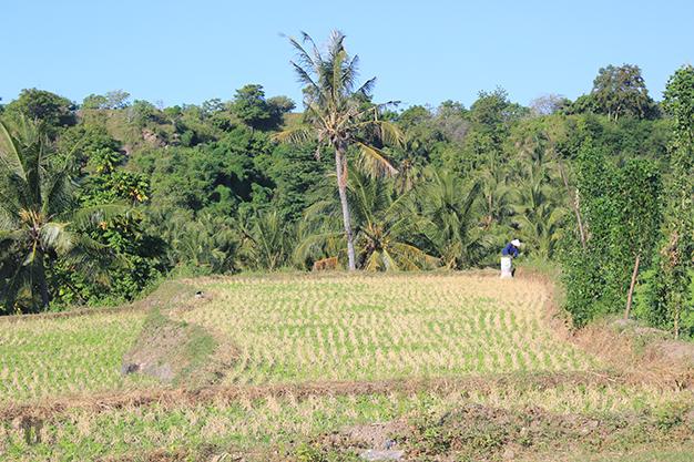Más campos de arroz