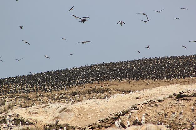 Multitud de aves en las Islas Ballestas
