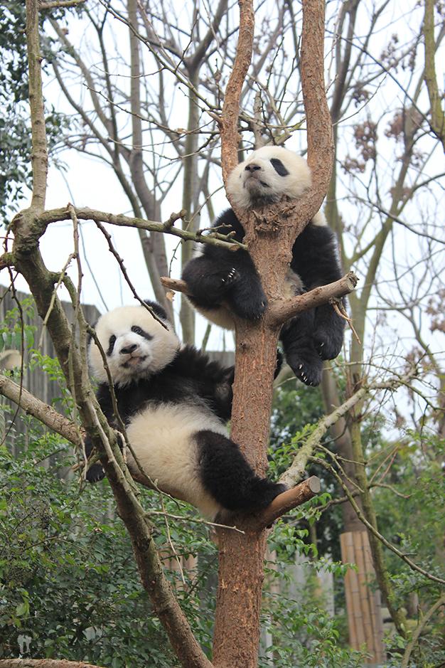 Crías de osos Panda