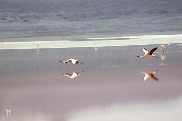 Flamencos sobrevolando la laguna