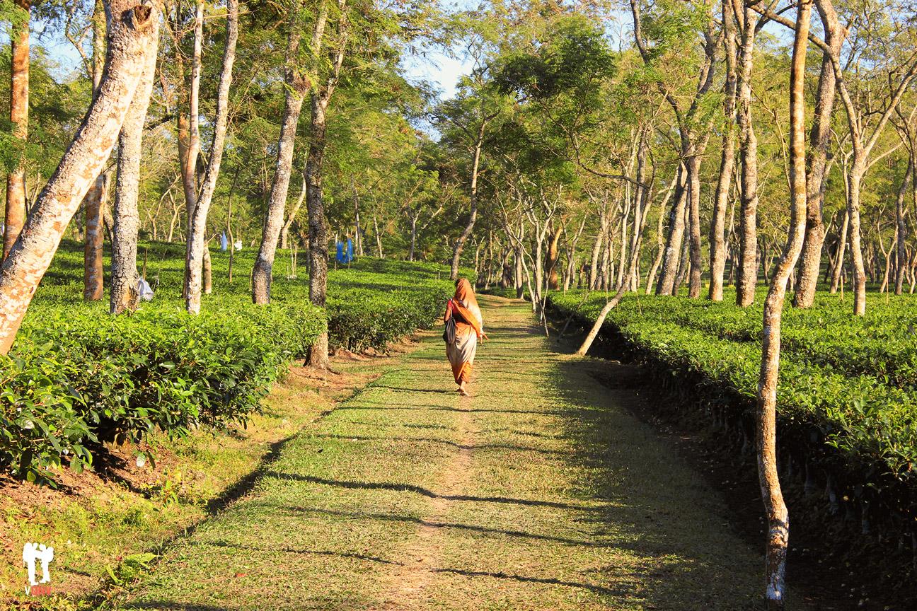 Caminando entre campos de té